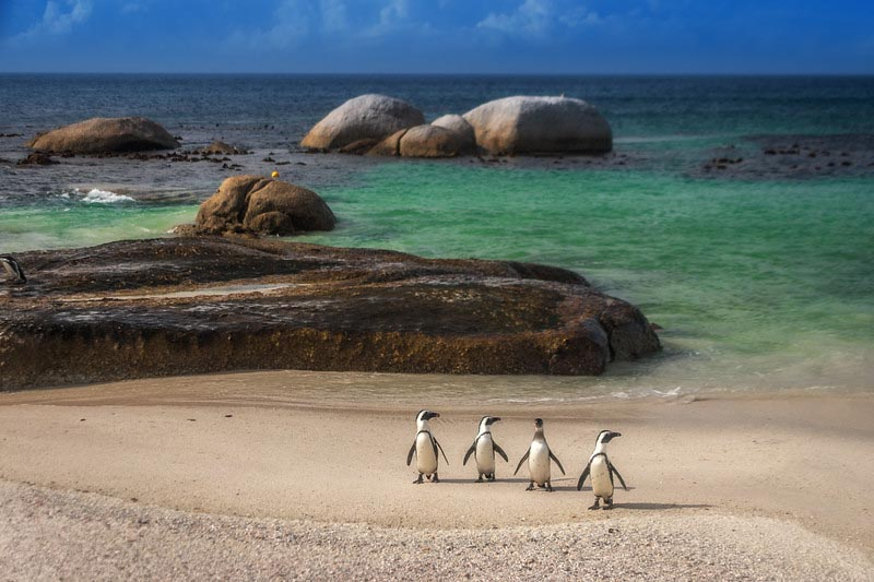 Penguins enjoying a day on the beach in Simons Town, South Africa.