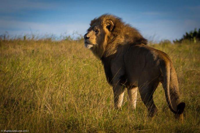 A lion surveys the savannah.