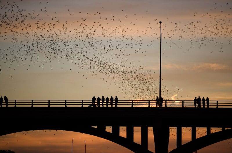 Bats fly out from beneath the Ann W. Richards Congress Avenue Bridge in Austin, TX.