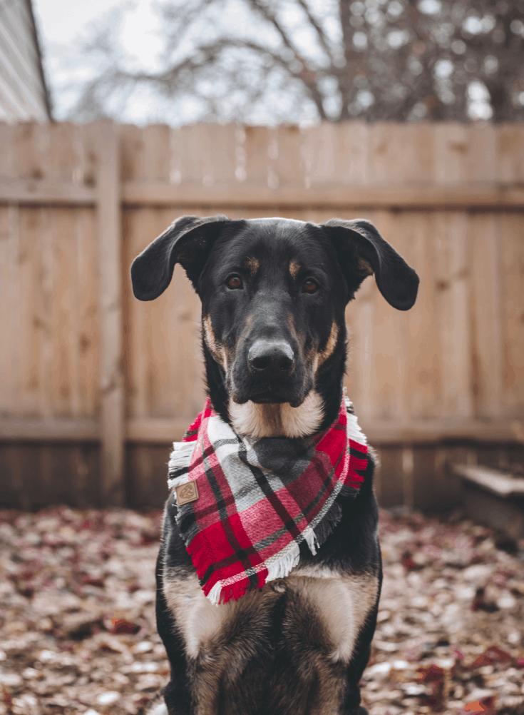 A German Shepherd/Lab mix wearing a red plaid bandana.