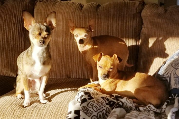 Kat's three adorable rescue dogs (Gizmo, Gadget, and Glitter) bask in a sunbeam.