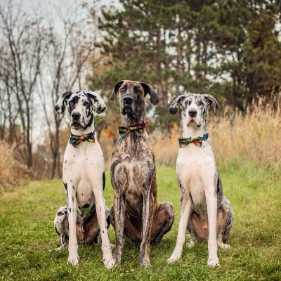 three great danes wearing bow ties and sitting on a hill
