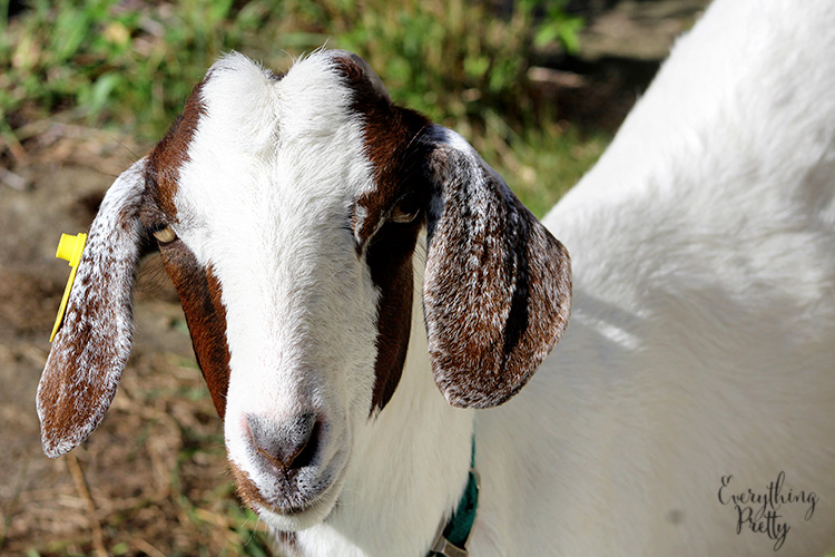 picture of a white goat with brown ears